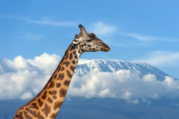 Image d'une girage sur fond de kilimandjaro